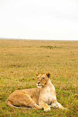 Lioness in Kenya - p5330367 by Böhm Monika