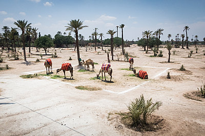 Camels in Marrakesh - p930m1574245 by Ignatio Bravo