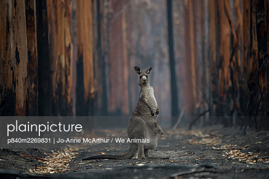 A mother Eastern grey kangaroo (Macropus giganteus) and her joey, surrounded by burnt trees. Survivors of a bushfire in Mallacoota, Australia, January 2020. - p840m2269831 by Jo-Anne McArthur / We Animals