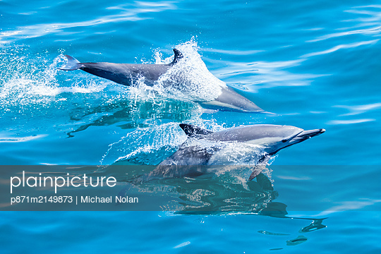Long-beaked common dolphins (Delphinus capensis), off Isla San Marcos, Baja California Sur, Mexico - p871m2149873 by Michael Nolan
