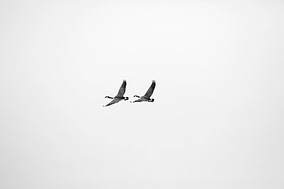 Wild goose - p2351213 by KuS