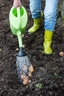 Watering potatoes, watering can - p300m1157021 by Deyan Georgiev