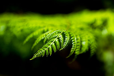 Close up detail of a fern in the rainforest in Arenal Volcano National Park, Alajuela Province, Costa Rica - p871m2032128 by Matthew Williams-Ellis