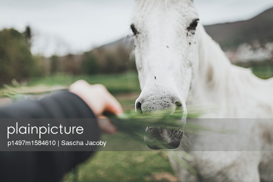 Pferd frisst Gras - p1497m1584610 von Sascha Jacoby