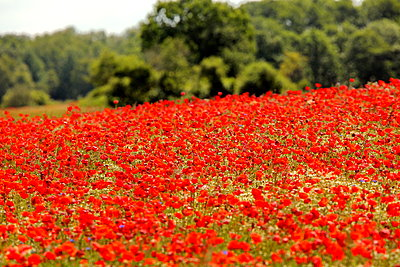 Poppy field - p1016m2194576 by Jochen Knobloch