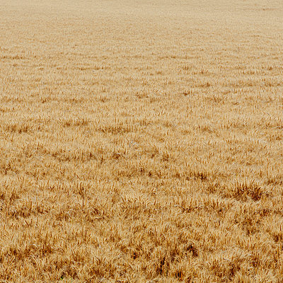 A wheat field with a ripening crop of wheat growing. Wind blowing over the top of the crops.  - p1100m875920f by Paul Edmondson