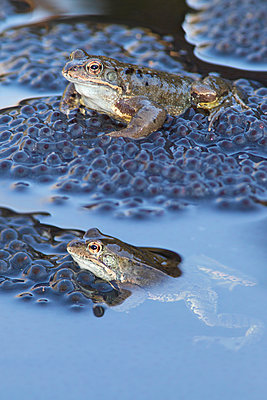 Common Frog pair floating in pond with spawn, Nijmegen, Netherlands - p884m1136326 by Jelger Herder/ Buiten-beeld