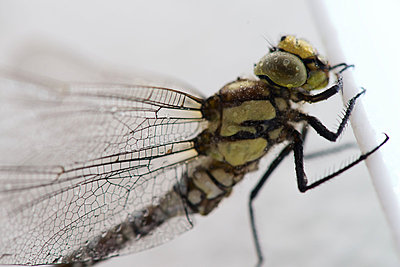 Dragonfly, close-up - p624m1045714f by Odilon Dimier