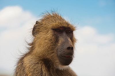 Yellow baboon (Papio hamadryas cynocephalus), Tsavo East National Park, Kenya - p924m2153006 by Delta Images
