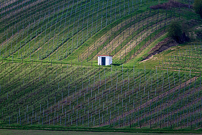 vineyard - p417m1134271 by Pat Meise