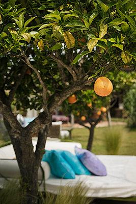 Orange Tree - p600m2076866 by Laura Stevens