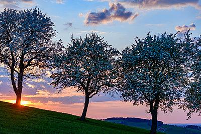 Blühende Apfelbäume, Moststrasse, Niederösterreich - p1463m2292946 von Wolfgang Simlinger