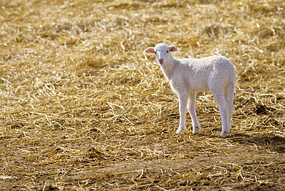 Lamb - p8850230 by Oliver Brenneisen