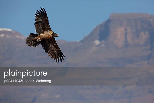 Junior Lammergeier (Bearded Vulture) at Giant's Castle, Drakensburg Mountains, Africa - p92411043f by JACK WEINBERG