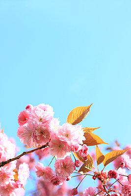 Cherry blossom - p045m1020589 by Jasmin Sander