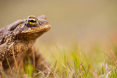 Close-up of a Common Toad (Bufo bufo) looking away over blurred background - p1025m779610f by Anders Järkendal