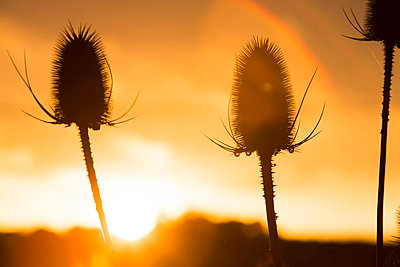 Teasels in sunset - p1057m856402 by Stephen Shepherd