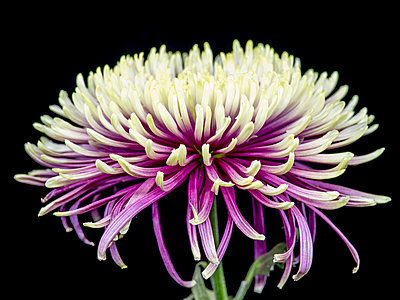 Chrysanthemum flower - p401m2272886 by Frank Baquet