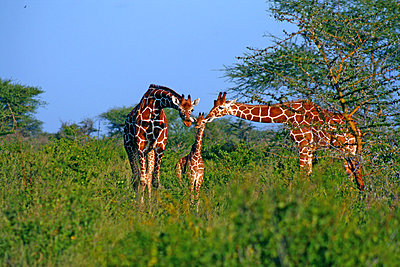 Giraffes - p5330037 by Böhm Monika