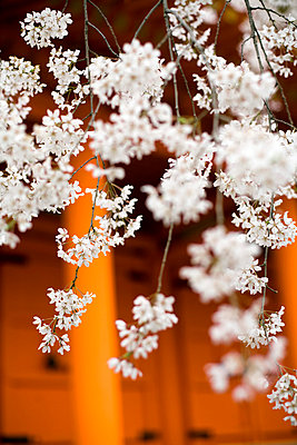 Kirschblüten in Japan - p7840001 von Henriette Hermann