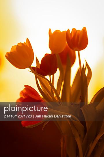 Tulpen, close-up - p1418m2071720 von Jan Håkan Dahlström