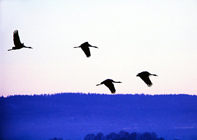 Low angle view of four cranes flying over a forest - p3484291 by Björn Wiklander