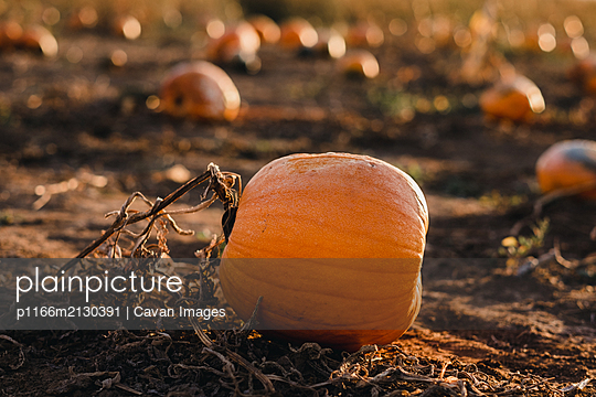 pumpkin on a vine in pumpkin field - p1166m2130391 by Cavan Images