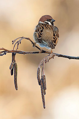 Tree Sparrow perched on branch from alder - p1144m967505 by Henny van Egdom