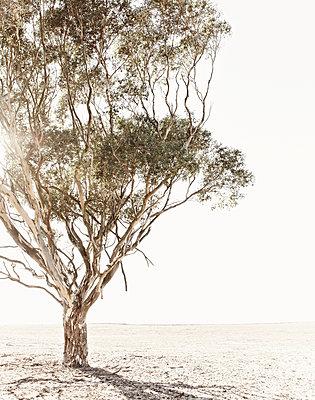 Single tree in the desert - p1092m2054245 by Rolf Driesen