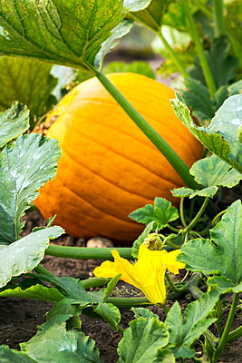Close-up of a pumpkin and a yellow blossom on the plant ; Erickson, Manitoba, Canada - p442m2091719 by Michael Interisano