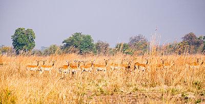 Impala Herde im Südluangwa-Nationalpark - p842m1538217 von Renée Del Missier