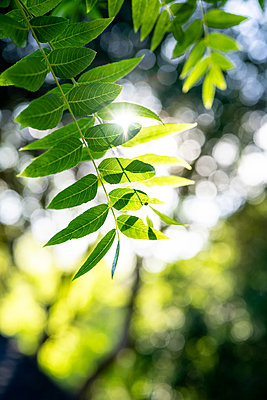 Sunlight through green tree leaves with shallow depth of field - p1166m2212339 by Cavan Images
