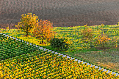Germany, Baden-Wuerttemberg, Breisach, view to grape vines and field from above - p300m978272f by Albrecht Weisser
