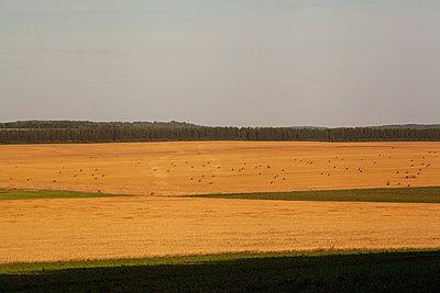 Golden hay fields - p429m2217828 by Aliyev Alexei Sergeevich