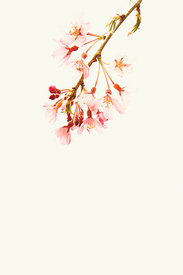 Close up cherry blossom - p597m1564563 by Tim Robinson