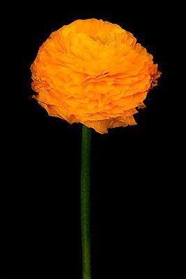 Ranunculaceae - p977m955842 by Sandrine Pic