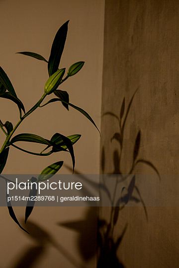 Shadow of a lily - p1514m2289768 by geraldinehaas