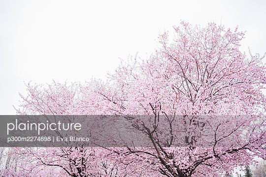 Pink almond tree blossoming in springtime - p300m2274698 by Eva Blanco