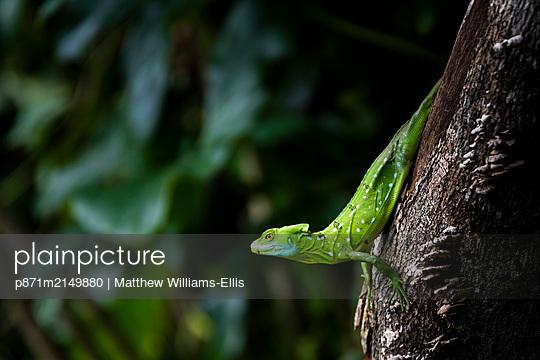Common Basilisk (Jesus Christ Lizard) (Basiliscus Basiliscus), Tortuguero National Park, Limon Province, Costa Rica - p871m2149880 by Matthew Williams-Ellis