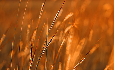 The golden sunlight on the meadow - p1166m2137002 by Cavan Images