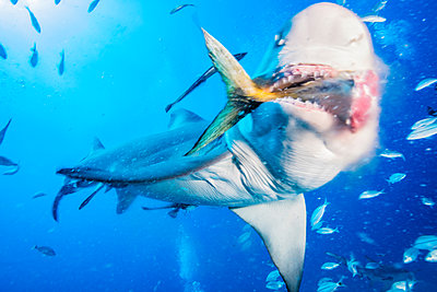 Lemon shark eating tuna tail - p924m1155319 by Ken Kiefer 2