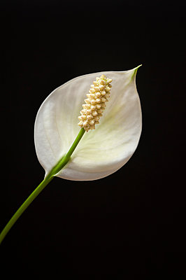 Peace lily - p971m911951 by Reilika Landen