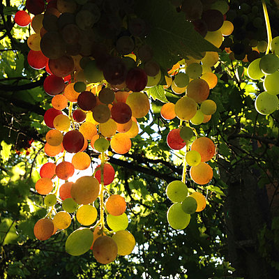 Grapes - p1468m1559365 by Philippe Leroux