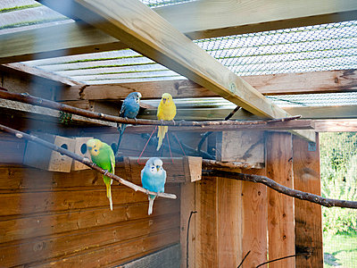 Budgies in volery - p3883142 by Weather photography