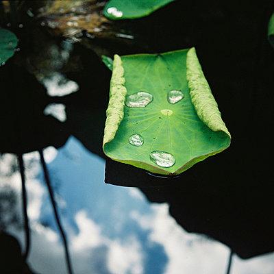 drops on  leaf (anglet) - p5672670 by Sandrine Agosti-Navarri