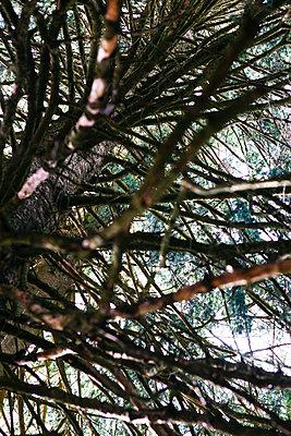Große Tanne in Froschperspektive - p728m1441901 von Peter Nitsch