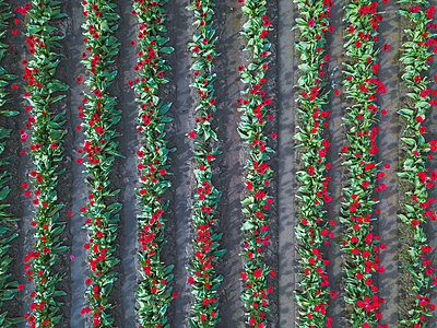 USA, Washington State, Skagit Valley, tulip field from above - p300m2042832 by Michael Malorny
