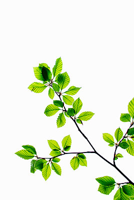 Leaves on a tree - p597m2026153 by Tim Robinson