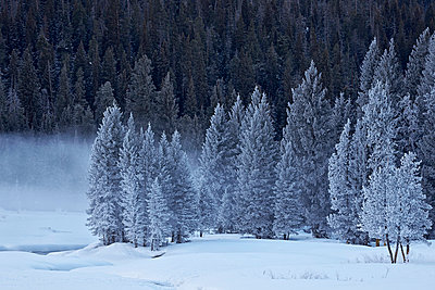 Frost-covered evergreen trees, Yellowstone National Park, UNESCO World Heritage Site, Wyoming, United States of America, North America - p871m975933f by James Hager