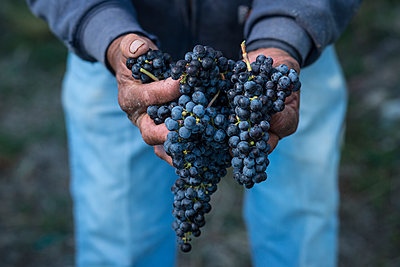 Midsection of farmer holding bunch of grapes while standing in vineyard - p1166m1209557 by Cavan Images